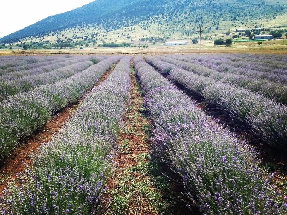 anthea organics lavender