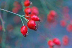 organic rose hip